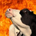 cow-and-fire